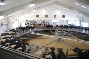 No matter where you are at the farm, there is glass between you and the cows. There is a 45 minute bus tour - but the bus itself goes down the center of the barn. Here we did get out (behind glass) to watch the cows on the milking carousel..