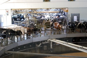 Each of the 30,000 cows are milked three times a day. (No bulls at Fair Oaks.)  They are milked on the Merry Milking Carousel - large enough for 72 cows. They get on and are milked for a total of eight minutes and then they get off. No one tells them to get off, they've learned when to do it. You can see all the cows waiting in line for their turn.