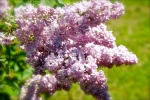 Cool thing about Copper Harbor the end of June - lilacs are just blooming.