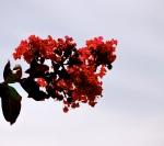 crepe myrtle (my favorite southern flower )