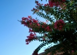 crepe myrtle - just can't help taking pictures of it